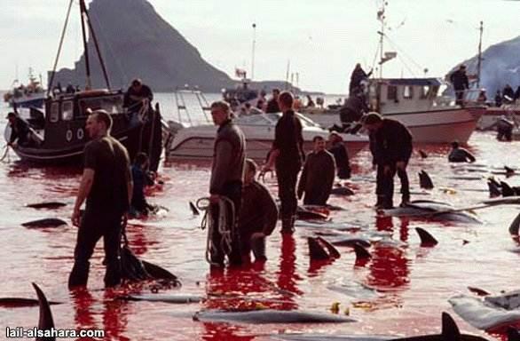 Ovako izgleda jedan od pokolja kitova i delfina!