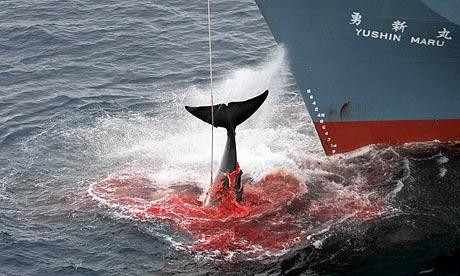 Japanese-Whaling--006