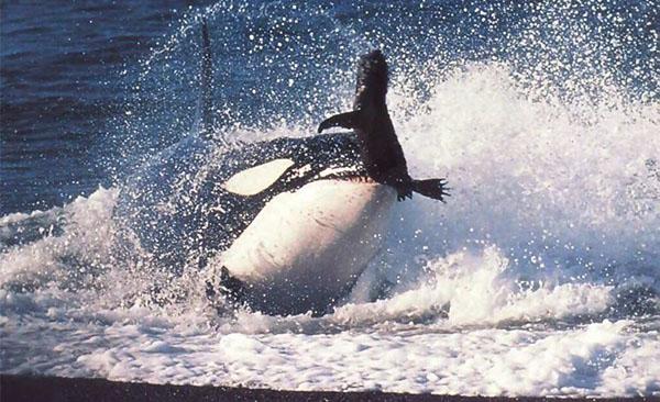 Lov orke na foke