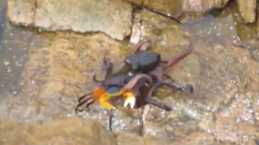 octopod crab